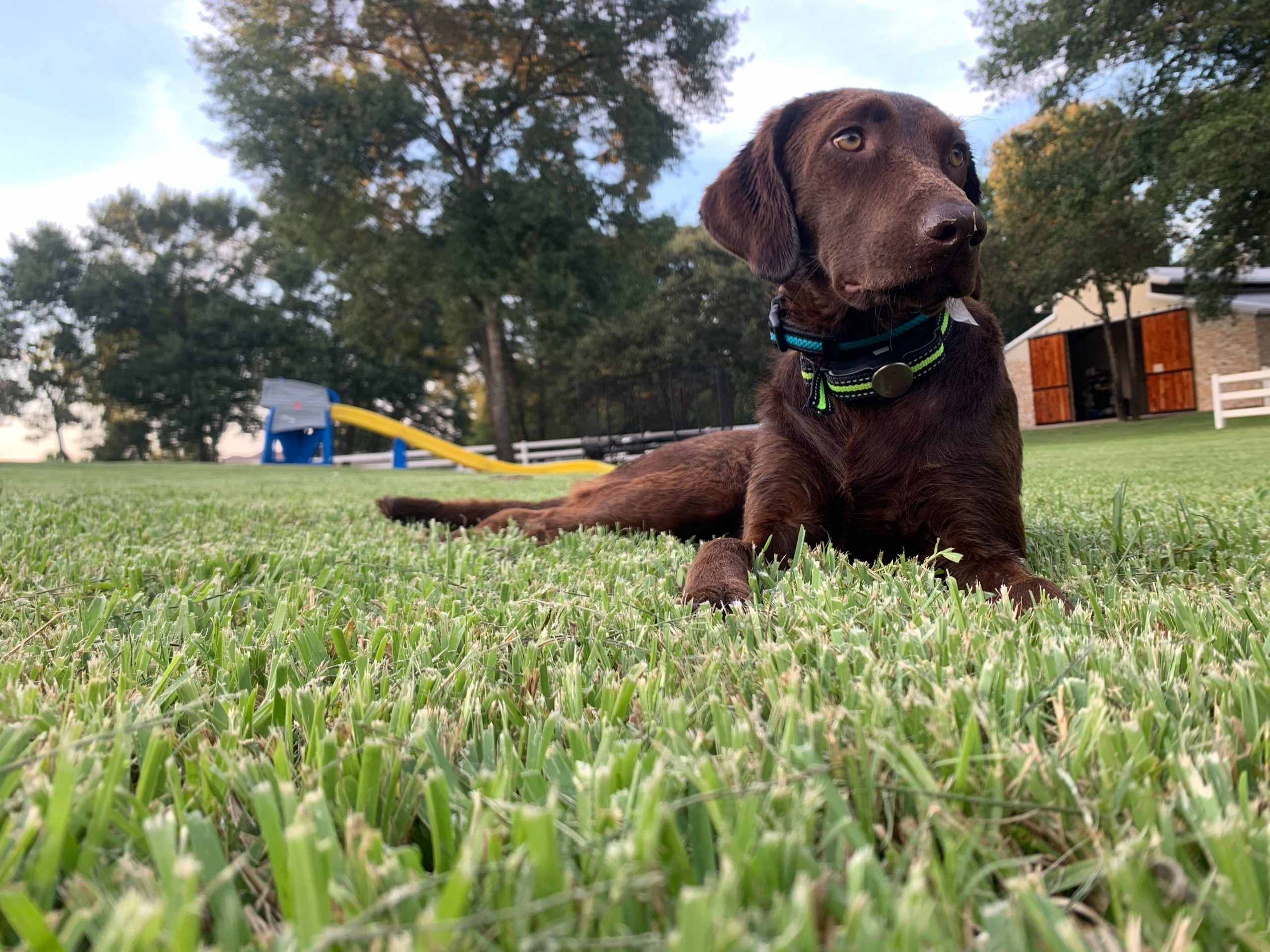 Brown Lab Laying In the Grass